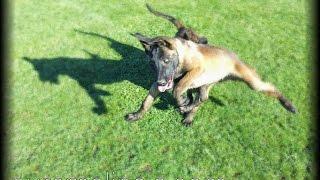 The Belgian Shepherd Malinois Hd - Puppy Test 017 - 2014 California, Usa - Not German Shepherd Dog
