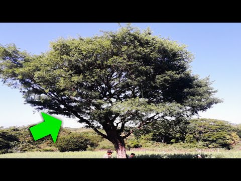 cura para el árbol de la próstata