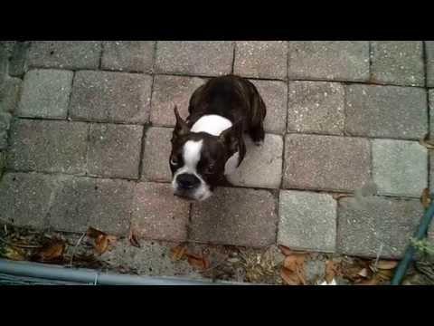 Boston Terrier Duke