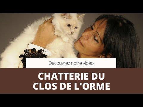 Eleveur De Chats,bengal,sacré De Birmanie,maine Coon - Montry (77) - CHATTERIE DU CLOS DE L'ORME