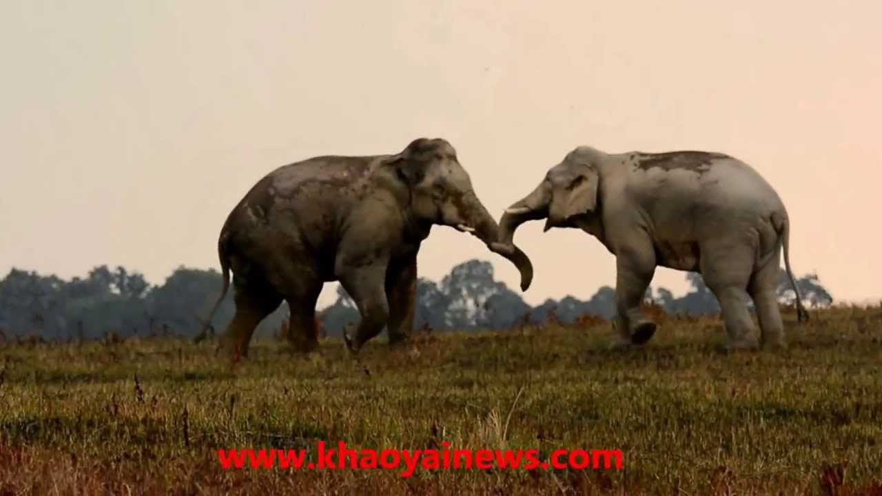 2 wild elephant bulls fighting - youtube