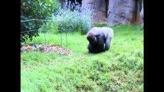 Western Lowland Gorilla foraging for nuts