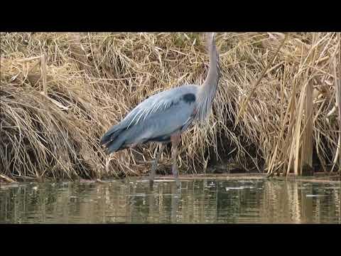 Great Blue Heron Apr 2018