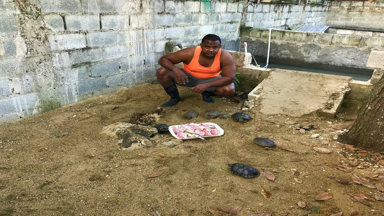 c mo alimentar tortugas en un estanque youtube
