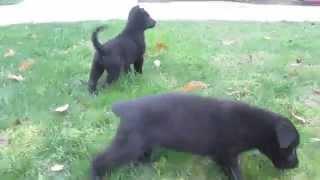 Black German Shepherd Puppies For Sale In Pa.