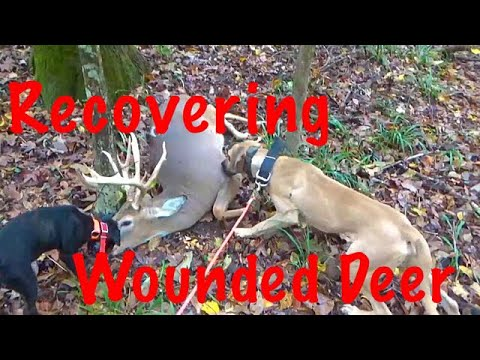 RECOVERING WOUNDED WHITETAIL DEER