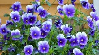 Flores amor perfeito