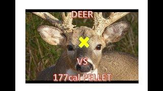 177cal vs Deer Headshot Point Blank & 20yd