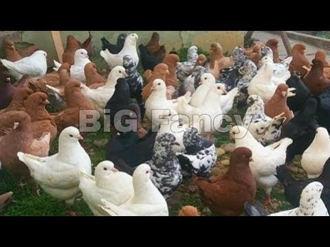 King Pigeon Breeders - Fancy Pigeon