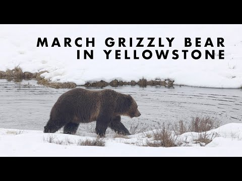 Grizzly Bear in Yellowstone National Park - March 2020