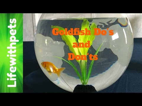 Goldfish Keeping Do's and Don'ts (Collab)