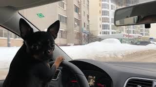 Собака за рулем 👀😂👍  #приколы #животные #собаки #чихуахуа