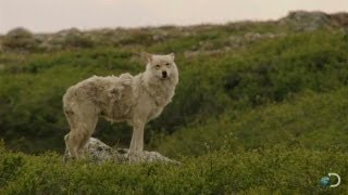 Gray Wolves Hunt Caribou | North America