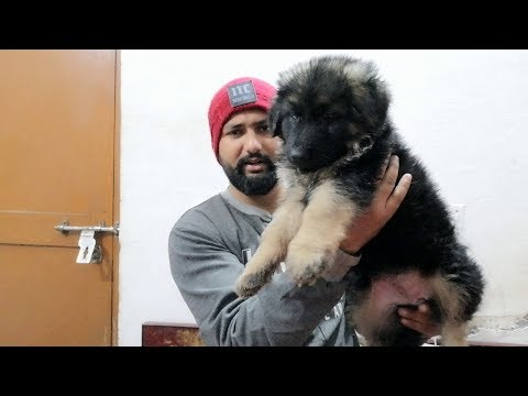 meet my new gsd ( her vaccination and deworming )