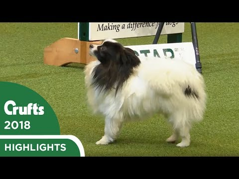 NOPE! Papillon refuses the Agility course at Crufts 2018