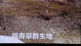 葛巻町江刈にて 福寿草見つけました 平成27年3月29日.