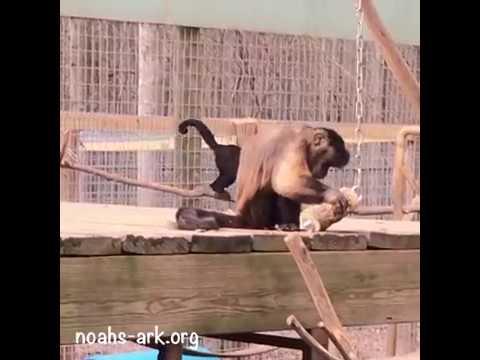 Hambone, capuchin monkey, with forage toy - Noah's Ark Animal Sanctuary