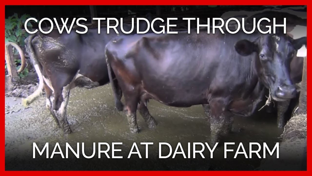 The Big Business of Dairy Farming: Big Trouble for Cows
