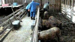 放牧地を走り回り、自家産ホエーと国産飼料で育った元気な豚たち。 今日...