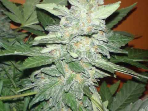 Edsthreads Lowryder 2 Grow Journal In Pics   YouTube. Aerogarden Cannabis Harvest. Home Design Ideas