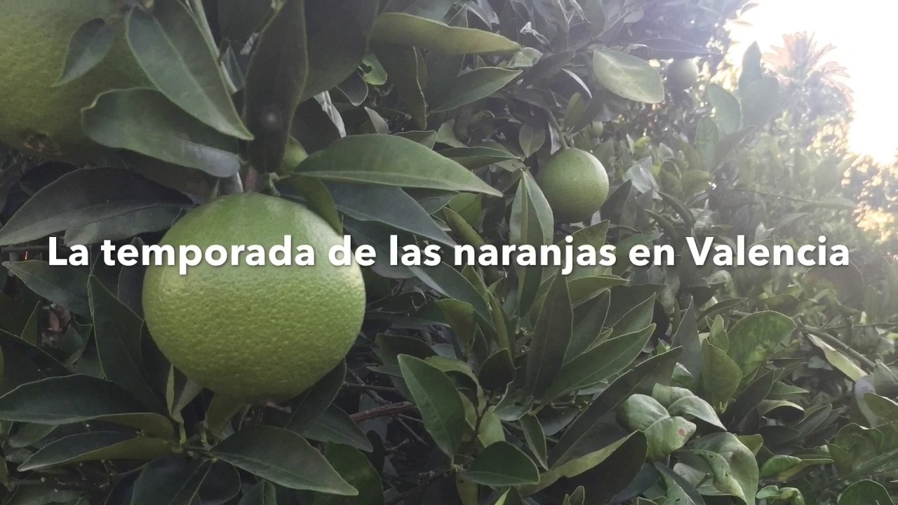 Temporada de recogida de naranja en valencia