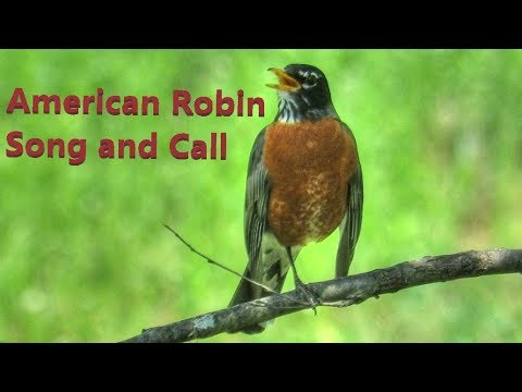 American Robin Song and Call