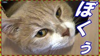 猫だいずはまん丸あたましてます。顔も丸いです。たまに賢そうな顔しま...