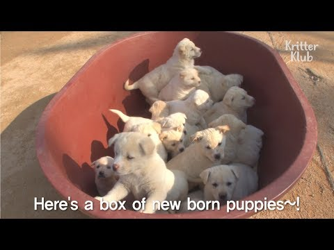 Come See 3 Mother Dogs and Their 23 Cute White Puppies In Full House | SBS Animal