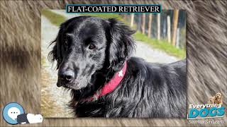 Flat coated Retriever  Everything Dog Breeds