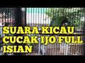 Suara Kicau Cucak Ijo Full Isian Dan Tembakan  Mp3 - Mp4 Download