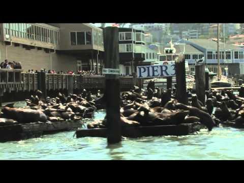Pier 39 Sea Lions Fishermans Wharf San Francisco Bay California