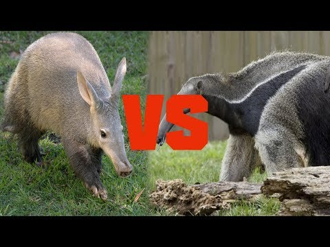 Aardvark vs Anteater - Animal Comparison 2018 - Comparison Media