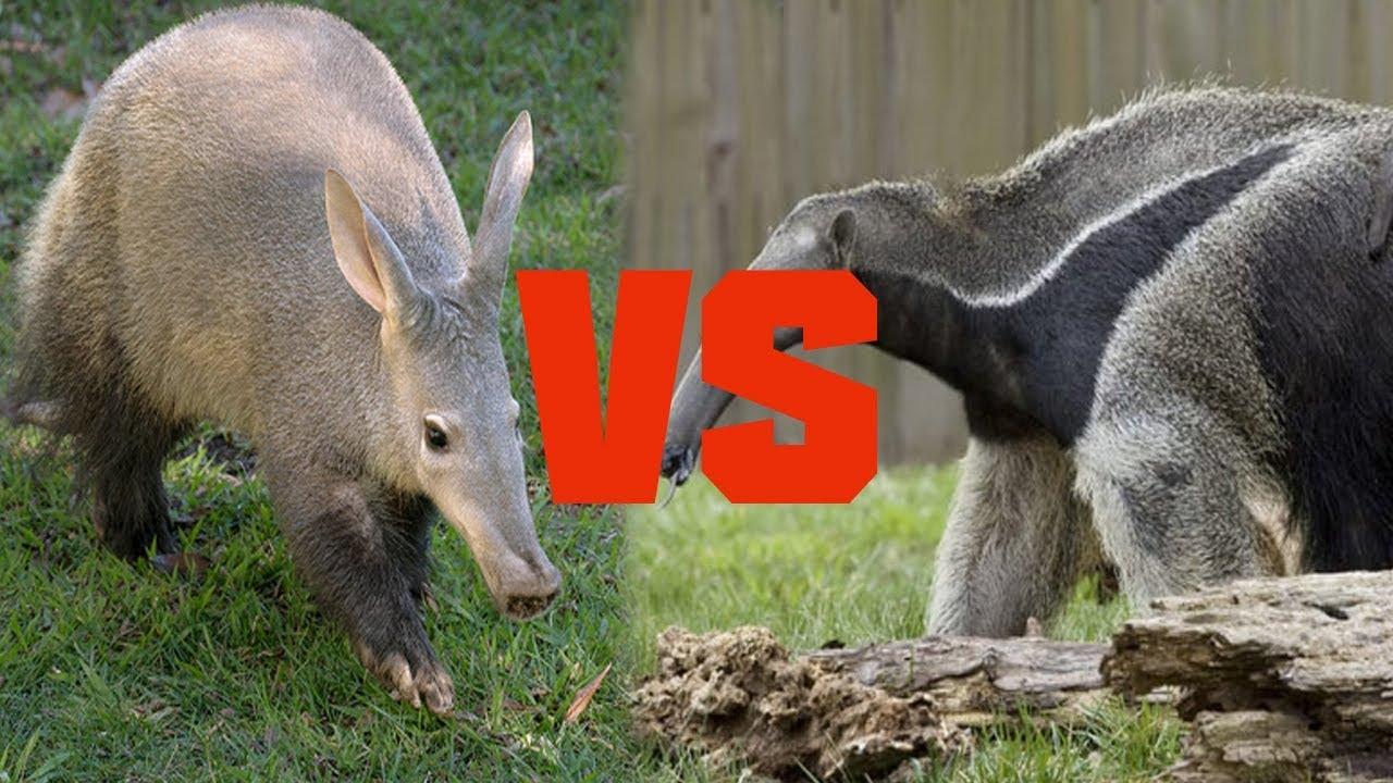 Anteater eating termites