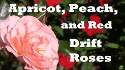 Our Apricot, Peach, and Red Drift Roses. A Good Ground Cover Rose.