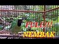 Cucak Ijo Gacor Nembak Tajam Jernih Ampuh Buat Pancingan Dan Masteran  Mp3 - Mp4 Download