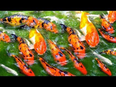 KOI CARP FISH FARMING