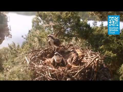 Young ospreys respond
