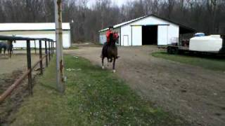 Alexis and diego roadster pony under saddle YouTube Videos