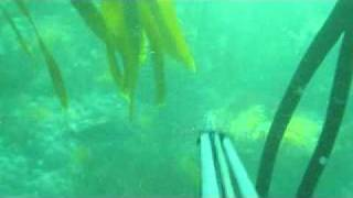 Spearfishing a Hottentot in Camps Bay Cape Town South Africa.wmv