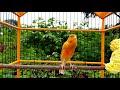 Best Singing Canaries Suara Lantang Kenari Lokal Indonesia  Mp3 - Mp4 Download
