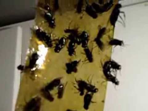 1 000 Dead Amp Dying Flies Stuck To Fly Paper Youtube