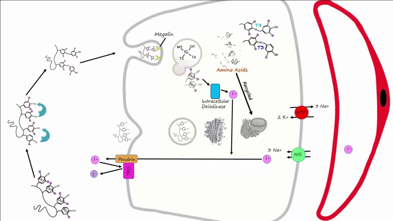 Thyroid Part 2 Thyroid Hormone Synthesis Youtube