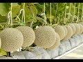Melon Farming. My farm 2018