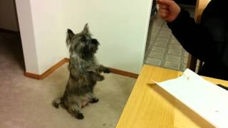 Rufus The Cairn Terrier Wants Food