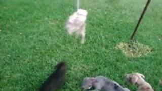 American Bandog Mastiff Puppies 10 Weeks Old First Exposure To A Spring Pole