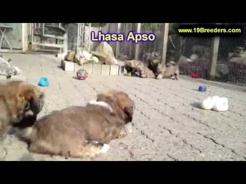 Lhasa Apso, Puppies, Dogs, For Sale, In Albuquerque, New Mexico, NM, 19Breeders, Rio Rancho
