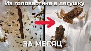 Как вырастить лягушку из икры (или головастика) за месяц