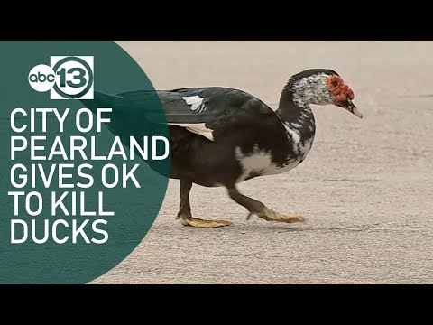 Michael Berry - Pearland Gives The Ok To Shoot Invasive Muscovy Ducks Running Amok In Town