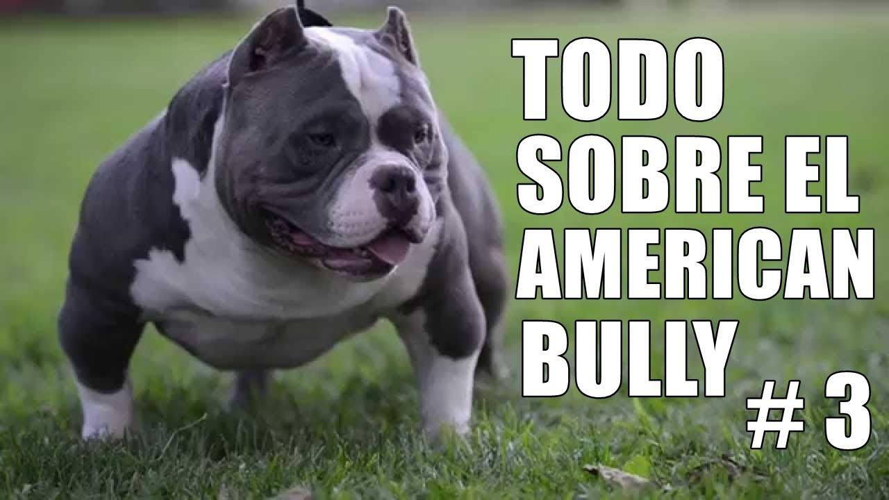 American bully - Educación - Tipos de bully - Salud - Cuidados - Comportamiento - Historia y Origen