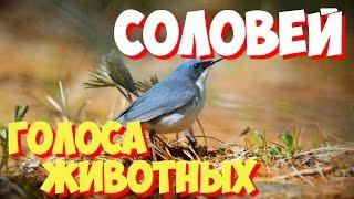 Голоса птиц и звуки животных. Звуки природы слушать онлайн СОЛОВЕЙ